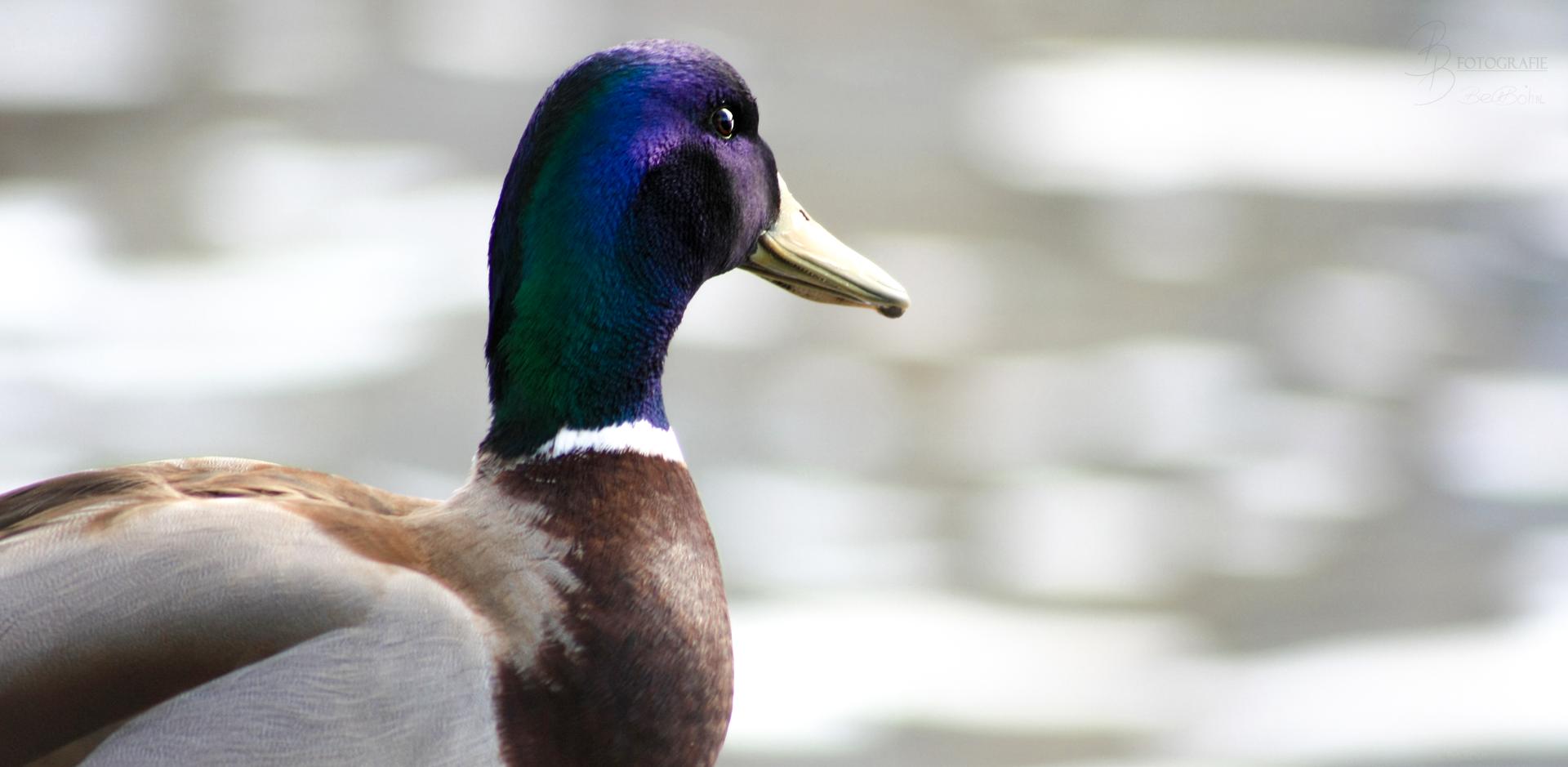 11 Ente lässt den Blick schweifen